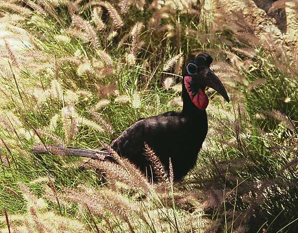 Абиссинский рогатый ворон (Bucorvus abissinicus)