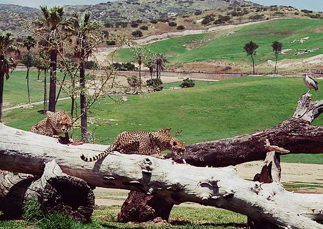 Гепарды на обеде
