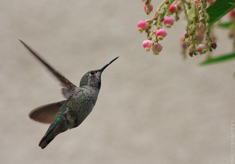 Колибри — парит как бабочка, опыляет как пчела