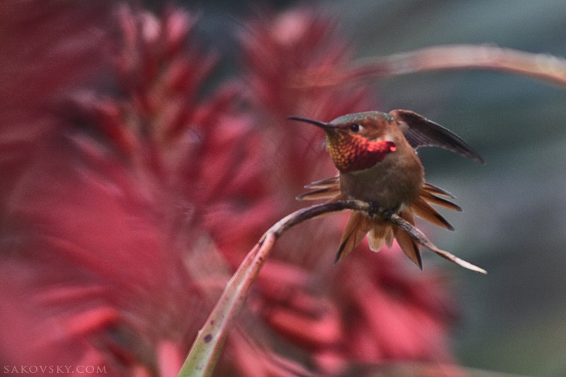 О маленькой и энергичной птичке колибри