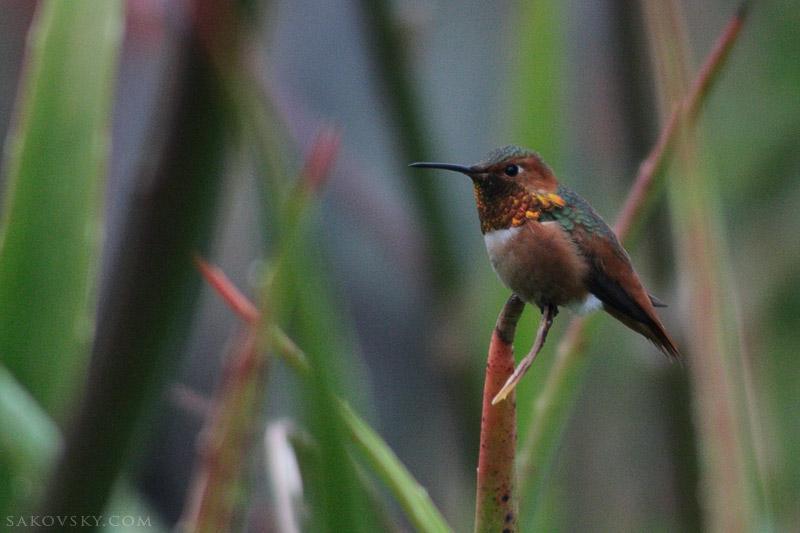 Настороженный колибри