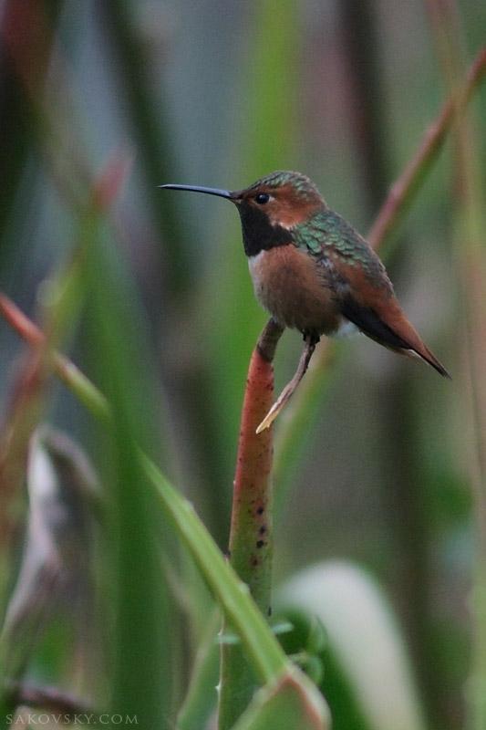 Отдыхающий колибри