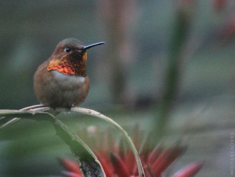 Любопытный колибри