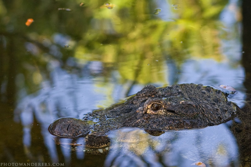 Дремлющий аллигатор