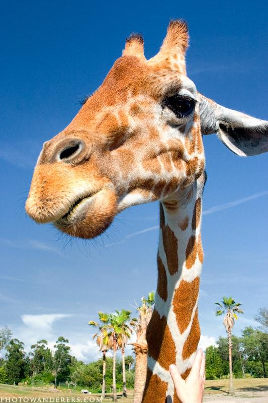 Любопытный жираф, Буш Гарденс, Флорида