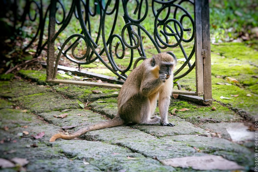 Зелёная мартышка, Барбадос | Green Monkey, Barbados