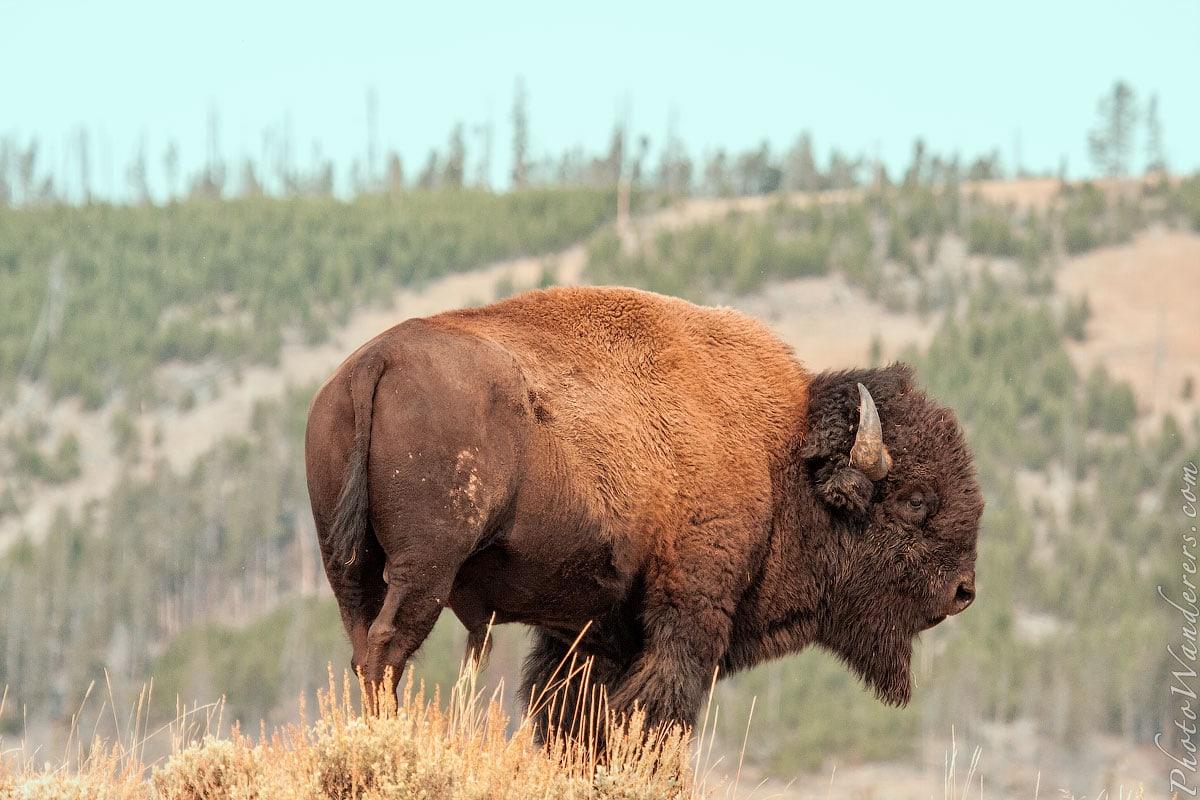 Лучшие путешествия 2015 года: Бизон в долине Гиббон (Bison in Gibbon meadow), парк Йеллоустоун, США