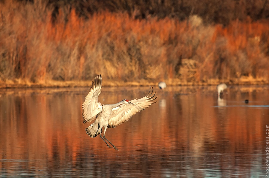 Канадский журавль, Bosque del Apache National Wildlife Refuge, Нью-Мексико