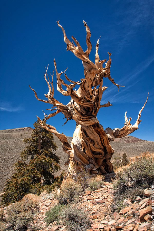 Патриарх, Калифорния | Ancient Bristlecone Pine Forest, California