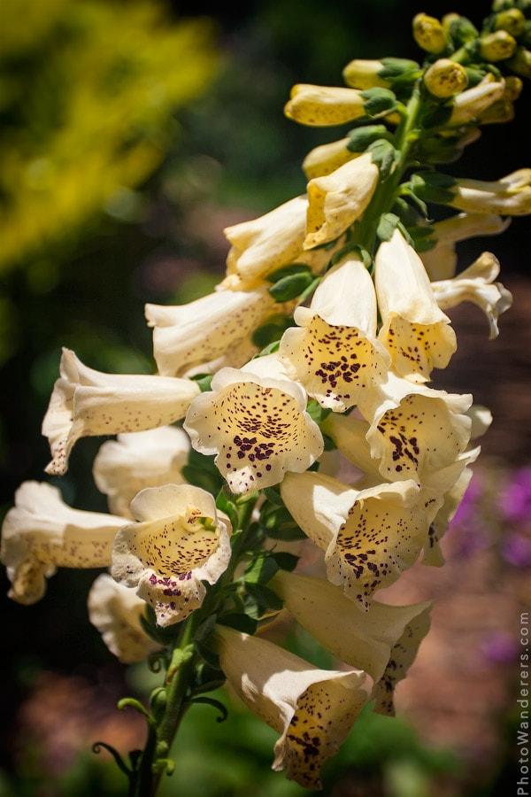 Цветок 'Львиный зев' возле Башни Бока