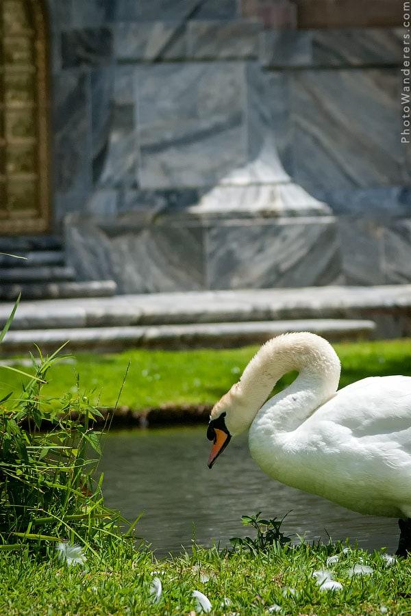 Лебедь около Башни Бока
