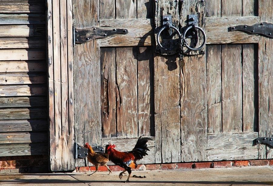 Петух и курица на улице Ки-Уэст, Флорида