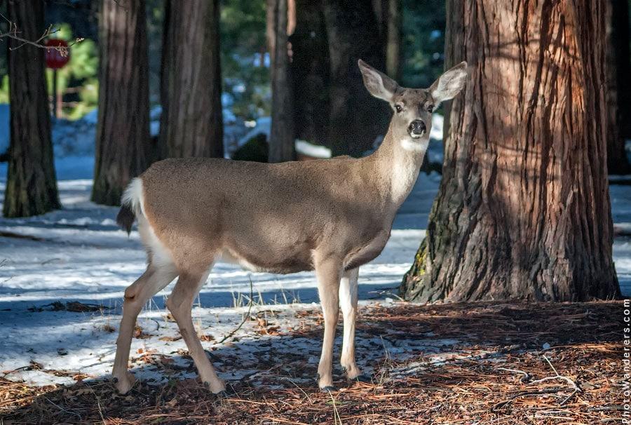 Олень возле Приюта Йосемити | Elk near Yosemite Lodge