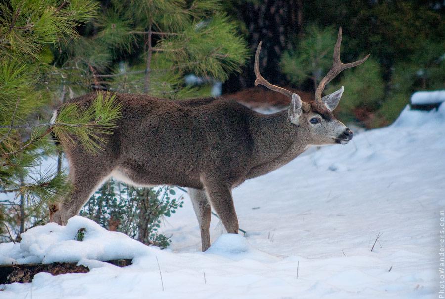Голубоглазый олень | Elk with blue eyes