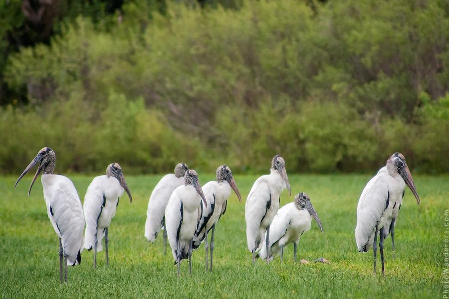 Колония Американских клювачей | Bunch of Wood Storks