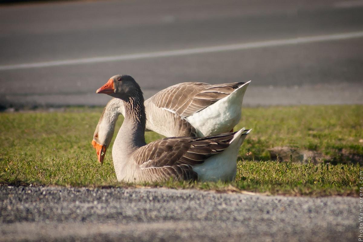 Гуси по дороге в Таллахасси, Флорида