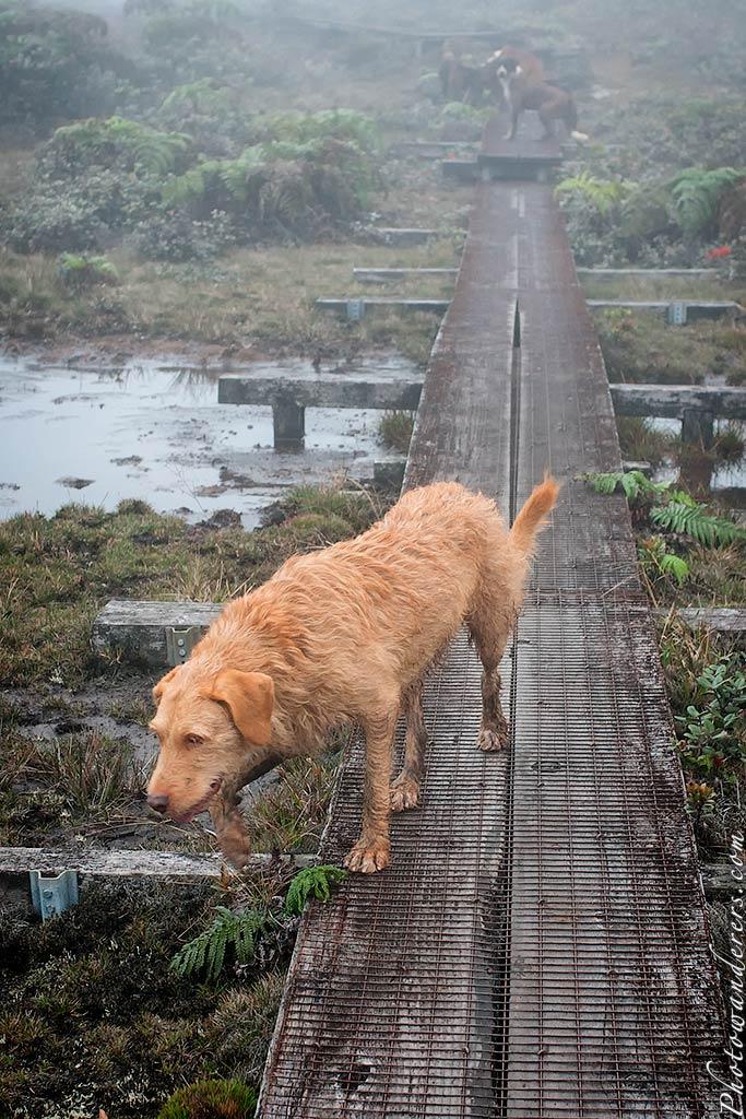 Охотничьи собаки, топь Алакаи | Hunting dogs, Alakai Swamp