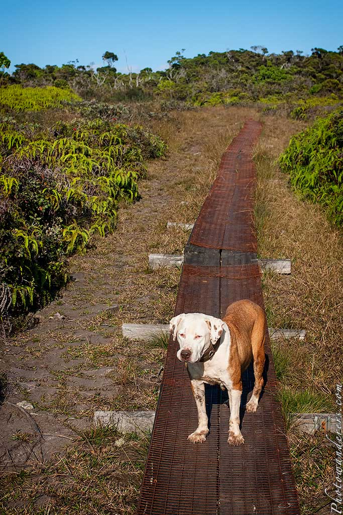 Собака-учитель, топь Алакаи | Teacher-dog, Alakai Swamp