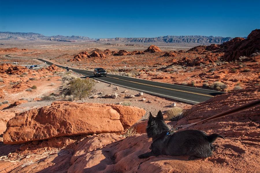 Джек любуется Долиной Огня, Невада | Jack-schipperke admires the Valley of Fire, Nevada