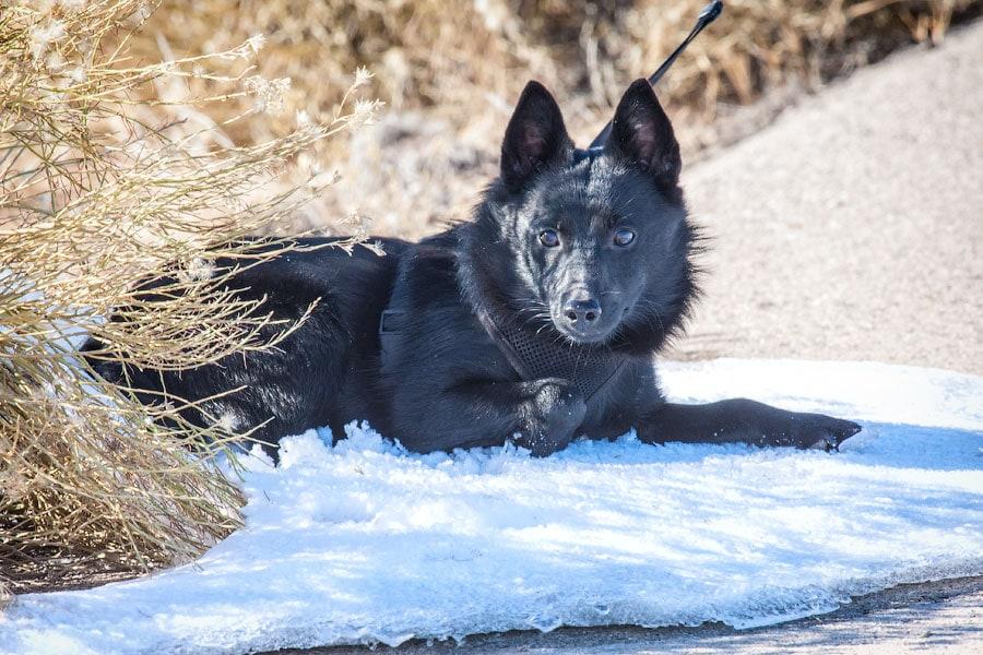 Снежный волк, Долина Гоблинов, Юта | Snow Wolf in Goblin Valley, Utah